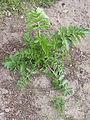Pastinaca sativa subsp. sativa regrowth, Pastinaak 2e jaar (5).jpg