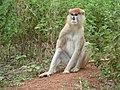 Patas Monkey in Mole National Park, Northern Region, Ghana, 2011.JPG
