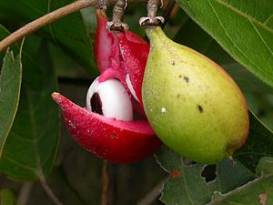 Paullinia pinnata - Fruits of Paullinia pinnata. Photo taken at the Nazinon river, Burkina Faso.