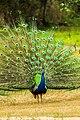 Pavão-indiano - Parque Ecológico Itapemirim.jpg