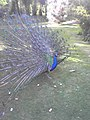 Peacock in Holland Park, Royal Borough of Kensington and Chelsea - geograph.org.uk - 98630.jpg