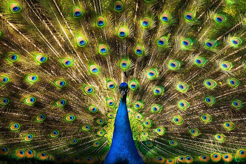Peacock in Toronto
