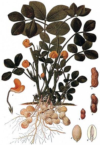 File:Peanut plant NSRW.jpg