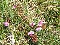 Pedicularis sylvatica - geograph.org.uk - 1378364.jpg