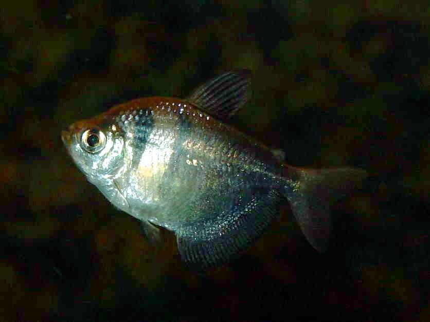 Peixe009eue
