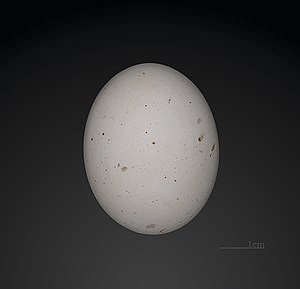 White-faced storm petrel - Egg - MHNT