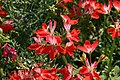 Pelargonium x hortorum Fireworks Red-white Bicolor 1zz.jpg