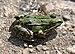 Pelophylax ridibundus qtl3.jpg