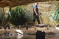 Penguins - WILD LIFE Sydney Zoo (Ank Kumar) 05.jpg