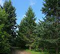 Pereslavl Arboretum R40.jpg