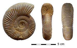 Perisphinctes - Image: Perisphinctes (Prosososphinctes) virguloides (Waagen)