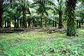 Perkebunan kelapa sawit milik rakyat (24).JPG