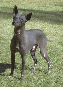 Best Small Hairless Dogs