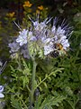 Phacelia tanacetifolia 2017-06-28 3284.jpg
