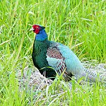 Phasianus versicolor -Japan -male-8.jpg