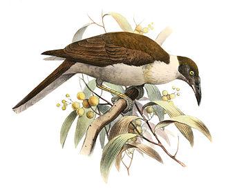 Manus friarbird - Image: Philemon albitorques