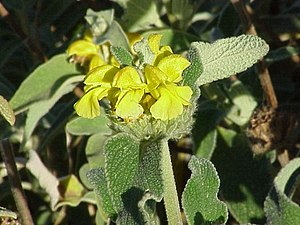 Phlomis - Phlomis fruticosa