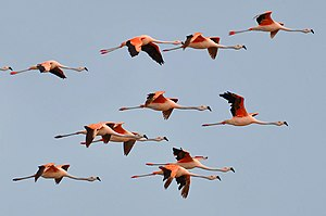 Chilean flamingo - Flock flying in Rio Grande do Sul, Brazil