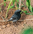 Phoenicurus ochruros male in Aveyron (1).jpg