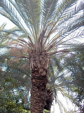 http://upload.wikimedia.org/wikipedia/commons/thumb/f/fd/Phoenix.canariensis.jpg/275px-Phoenix.canariensis.jpg
