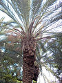 Phoenix.canariensis.jpg