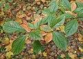 Photinia villosa kz05.jpg