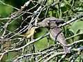 Photo of the Week - Yellowthroat Feeding Cowbird (MA) (7589721132).jpg