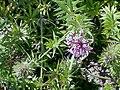 Phuopsis stylosa - 02.jpg