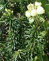 Phyllodoce aleutica in Mount Haku zoom 2011-07-17.jpg