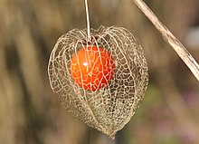 Physalis alkekengi fruit.jpg
