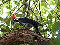 Picapau de cabeça vermelha (Driocopus lineatus).jpg