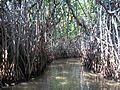 Pichavaram forest2.jpg