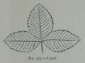 Picture Natural History - No 323 - Leaf.png
