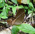 Pierella helvetia incanescens. - Flickr - gailhampshire.jpg