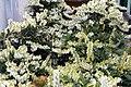 Pieris japonica var. yakushimanum Cavatine 7zz.jpg
