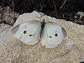 Pieris rapae Monte Altissimo.jpg
