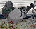 Pigeon huppé de Soultz bleu barré.jpg
