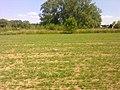 Pigeons ramiers dans un champ à Grez-Doiceau 002.jpg