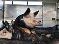 Pigs in a trailer before their slaughter.jpg