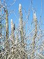 Pilosocereus leucocephalus (palmeri) (5762463862).jpg
