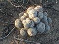 Pincushion Cactus Cluster Sahuarita Arizona 2013.jpg