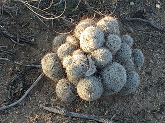 Mammillaria - Mammillaria cluster in Arizona.