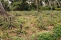 Pineapple crops Zanzibar.jpg