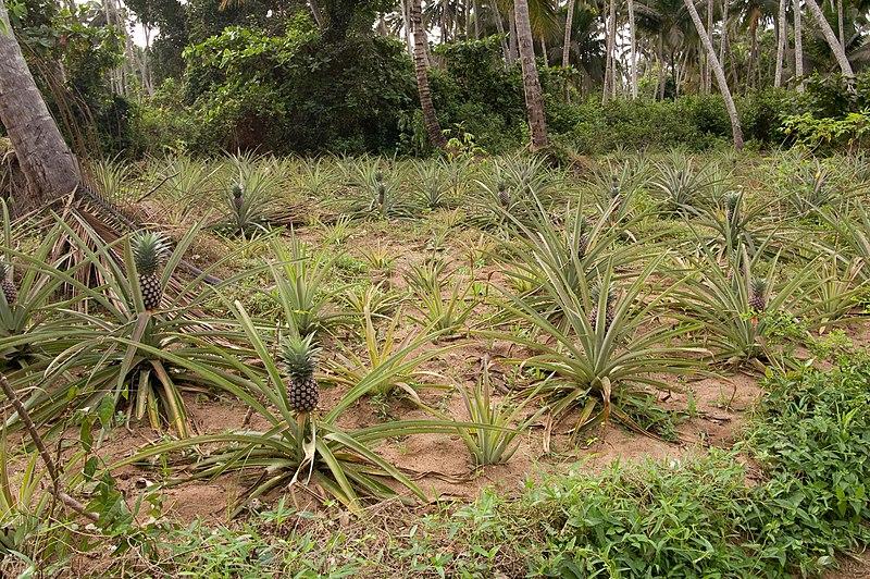 File:Pineapple crops Zanzibar.jpg
