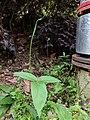 Pinellia ternata total.jpg