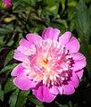 Pink Peony (27757842165).jpg