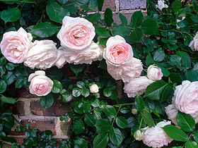 Pink roses, Nakanoshima Park, Osaka.jpg