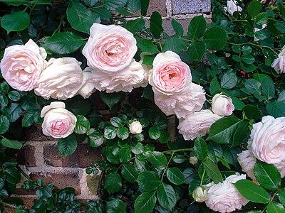 English Rose, Nakanoshima Park.