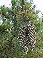 Pinus lambertiana cones2.jpg