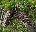 Pinus longaeva 1.jpg